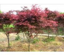 供应鸡爪槭、剑麻、金叶大花六道木