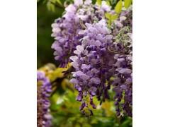 供应紫藤、紫薇、紫茉莉