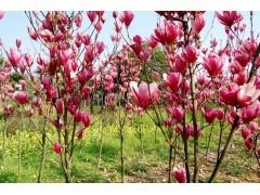 供应紫玉兰、小叶桅子、香樟