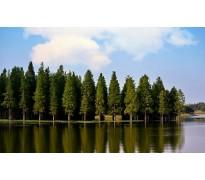 供应8-12公分的水杉