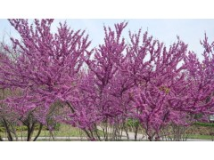 供应法国冬青,紫薇,夹竹桃,紫荆,花石榴