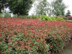 供应大量优质红叶石楠3-5cm