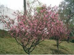 供应垂丝海棠4-8cm
