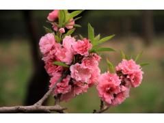 供应优质碧桃3-8cm