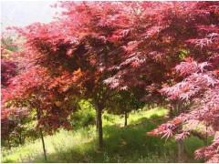 供应红枫10-12cm
