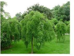 供应垂槐米径3-10公分