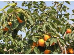 供应柿树胸径10-50公分