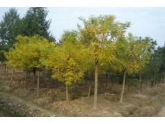 供应黄金槐米径4-10公分