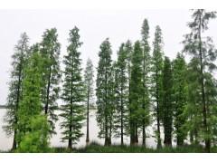 供应水杉胸径15-30公分