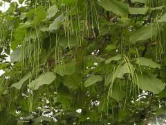 供应梓树胸径15-30公分