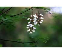 供应刺槐胸径10-30公分