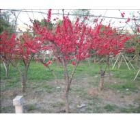 供应红叶桃地径3-15公分