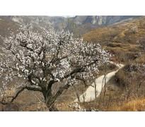 供应杏树10-35公分