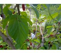 供应桑树10-40公分