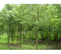 供应8-15公分榉树