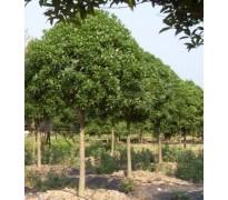供应丛生榔榆树