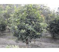 供应冠幅100-500公分丛生桂花