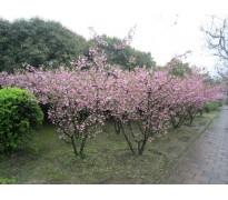 供应1-15公分樱花