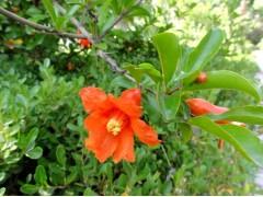 供应高度80-200公分冠幅50-200公分花石榴树