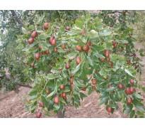 供应枣树、20公分柿子树