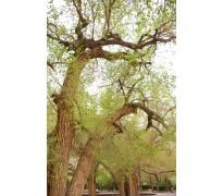 供应榆树10-30公分