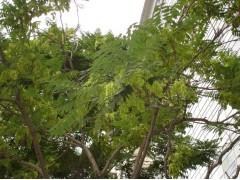 供应臭椿树、青檀树