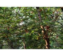 供应1-50公分构树