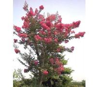 供应1-20公分紫薇树