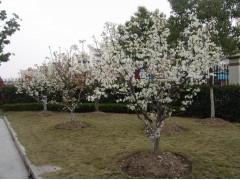 供应梨树、杏树