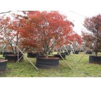 供应蚊母、红枫