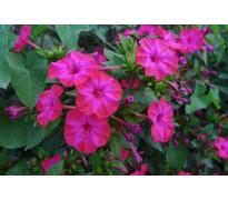 供应紫茉莉、樱花、茴香