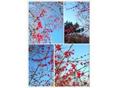供应红豆树、桂花、杜英