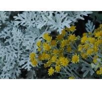 供应银叶菊、黑心菊、木槿
