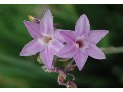 供应紫娇花、金叶牛至