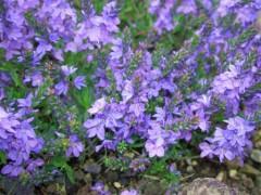 供应婆婆纳、千叶蓍、火炬花 、紫金牛