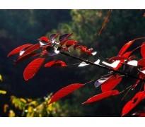 供应红叶扶桑、虎耳草
