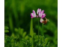 供应红花草、花叶玉簪