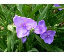 供应紫露草、白茅、白芨