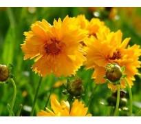 供应波斯菊、大花金鸡菊、春羽