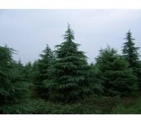 常绿乔木报价:雪松、白皮松、龙柏、蜀桧、香泡、青枫、香花槐树