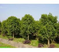 常绿乔木售价:香樟、竹柏、红豆杉、桂花树、高杆冬青、椤木石楠