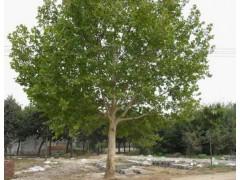 落叶乔木价格:法桐、无患子、白桦、银杏、法国梧桐、梅花、黄槐
