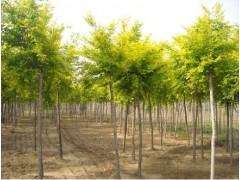 落叶乔木报价:金丝垂柳、美人梅、金丝槐、早樱、竹柳、北美海棠