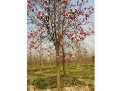落叶乔木售价:白蜡、榉树、樱桃树、红叶李、五角枫、紫玉兰朴树