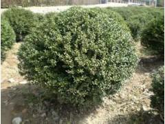 常绿灌木报价:榉树、含笑球、龟甲冬青球、八角金盘、茶梅、香泡
