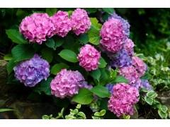 乔木灌木价格:铺地柏、红叶小檗球、连翘、卫矛、黄花槐、金叶犹