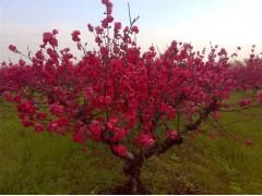 乔木灌木报价:紫丁香、榆叶梅、木芙蓉、腊梅、三角梅、麻叶绣球
