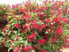 乔木灌木售价:白蜡青桐、木瓜海棠、马甲子、红瑞木、红王子锦带