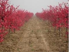 彩叶苗木价格:金叶榆、紫叶李、红叶碧桃、红叶杨、黄金栾、红梅