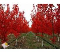 彩叶苗木报价:红叶紫薇、紫叶矮樱、紫叶稠李、金叶国槐、红叶李